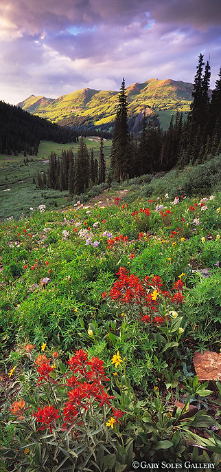 Green Mountain Paintbrush Vertical, green mountain, indian paintbrush, sunset, crested butte, colorado summer vertical