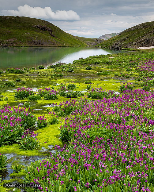 parrys primrose, colorado wildflowers, gary soles, ice lake, colorado, photography
