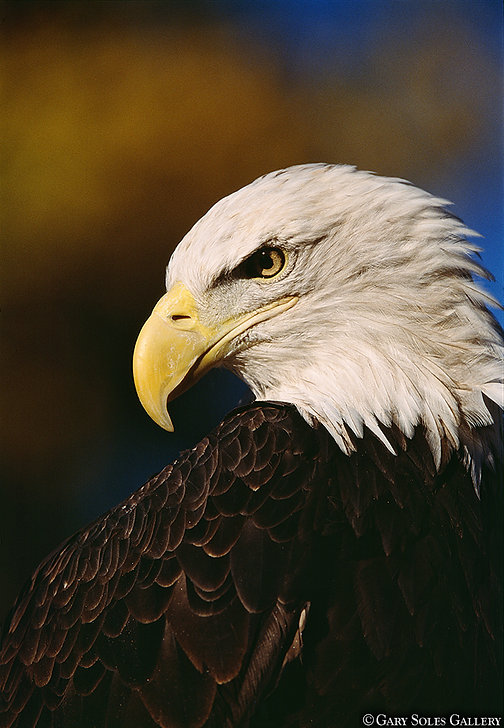 bald eagle, gary soles photography, wildlif, wildlife photography, eagle