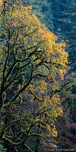 Oregon Columbia River Gorge V1-2, fal color, autumn, oregon, gary soles gallery, gary soles, breckenridge, colorado