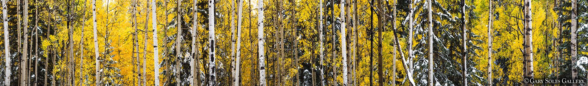 Aspen Tree Ultra Wide