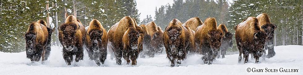 Morning Thunder 2, bison, yellowstone national park, winter bison