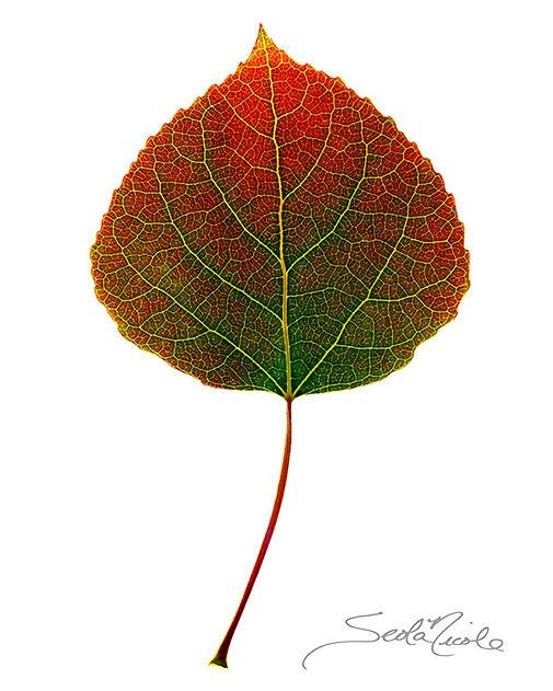 colorado aspen, aspen leaf, seola niocole, fall color, leaf detail, radigraph, seola nicole edwards, gary soles gallery