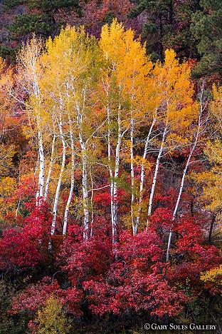 Fall Aspen and Scrub Oak