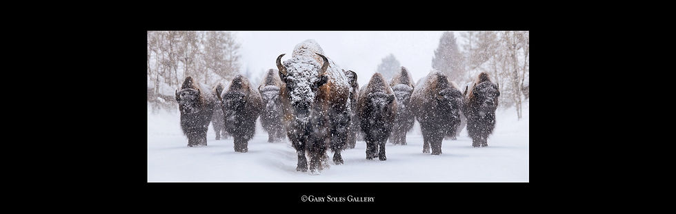 HPS Blizzard of Bison