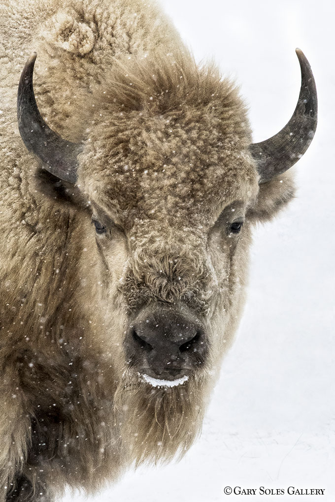 Winter White Bison
