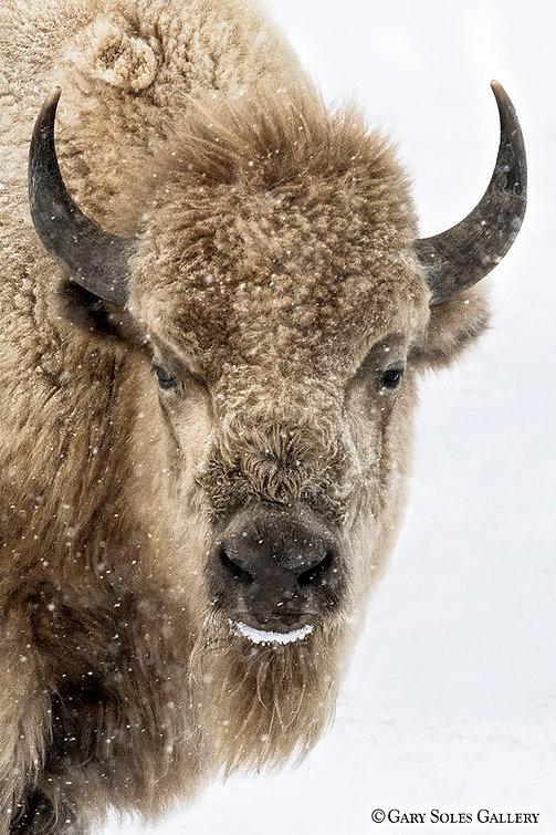 Winter White Bison