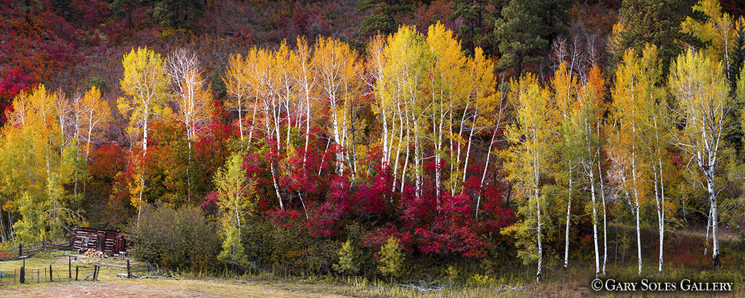 Fall Aspen and Scrub Oak Pano