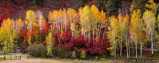 Fall Aspen and Scrub Oak Pano