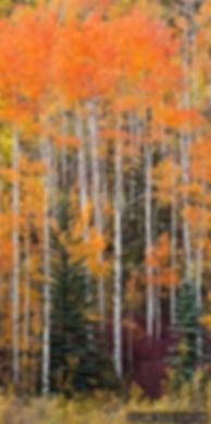 purgatory trees, vertical panoramic, durango, colorado, fall color, colorful colorado, gary soles, gary soles gallery, breckenrige, colorado, fall