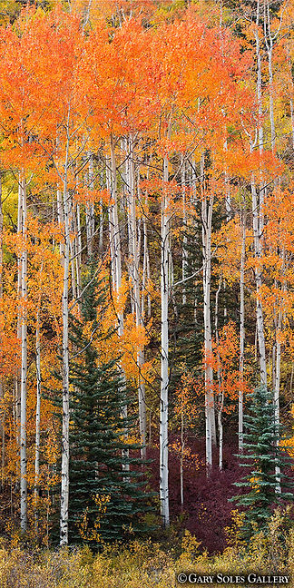 purgatory trees, vertical panoramic, durango, colorado, fall color, colorful colorado, gary soles, gary soles gallery, breckenrige, colorado, fall