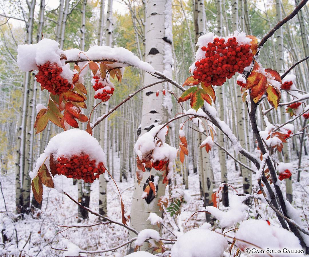 Snowberries H