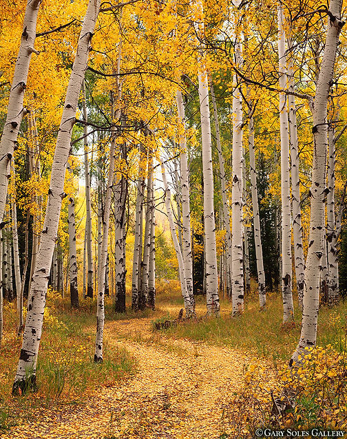 Yellow aspen, McClure Pass, Colorado, Gary Soles photography