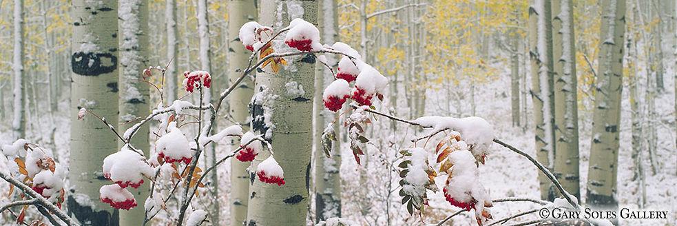 Snowberries 1_3H.jpg