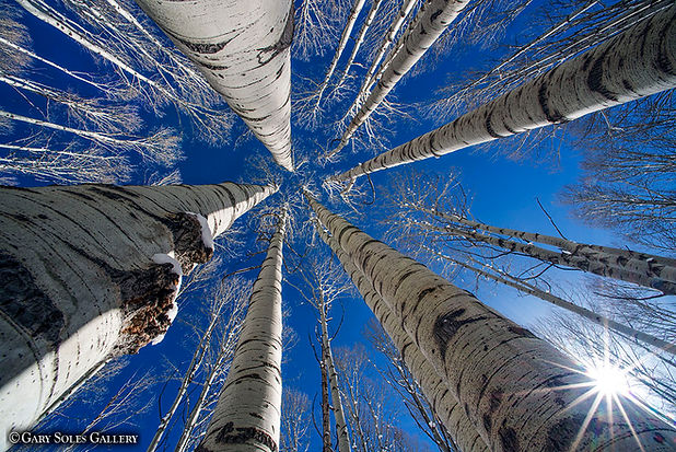 Looking up Winter Sunstar web.jpg
