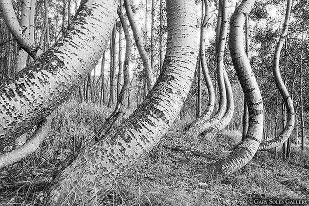 undulating aspen, aspen trees, black and white, near ophir, colorado