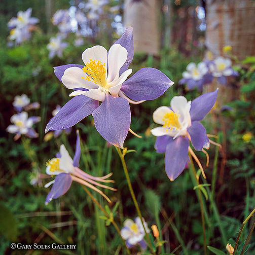 3 Columbines, blue columbine, state flower, wildflower, colorado wildflowers