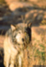wildlife, wolf, gary soles, gary soles photography, film photograhy, gary, soles