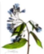 alpine bluebells, colorado wildflowers, seola nicole, flattened gallery, pressed flower, wildflower, gary soles gallery, breckenridge, colorado