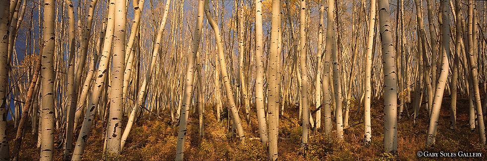 aspen, fall aspen, aspen grove, gary soles gallery, breckenridge, colorado, gary soles