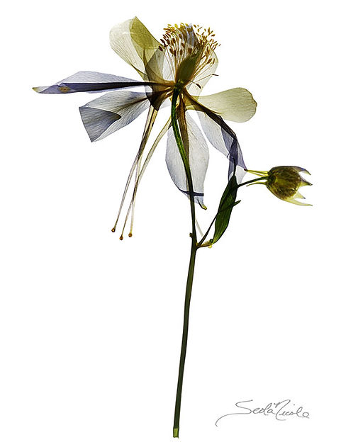 colorado state flower, columbine, seola, seola nicole edwards, breckenrige, gary soles gallery, colorado