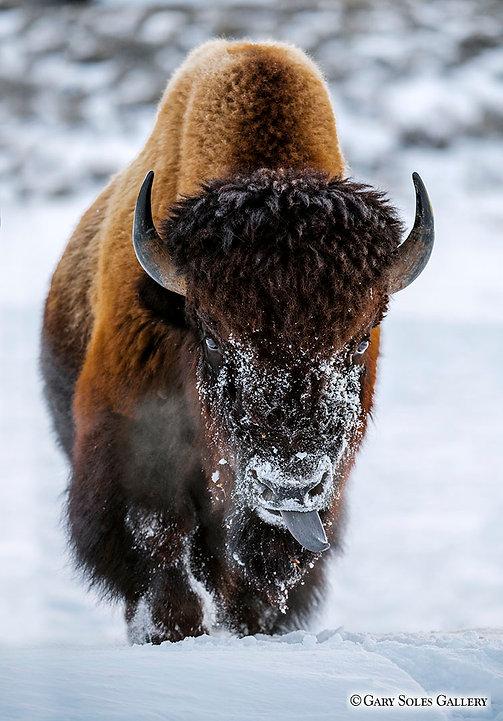 Tatanka, big beast, bison, horns, snow, bison portrait, steam, yellowstone, gary soles gallery
