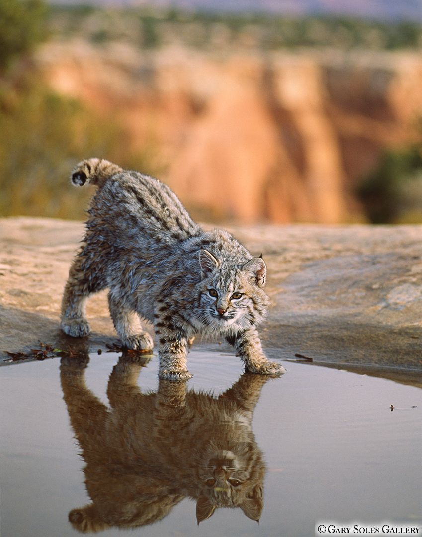 Bobcat Reflection