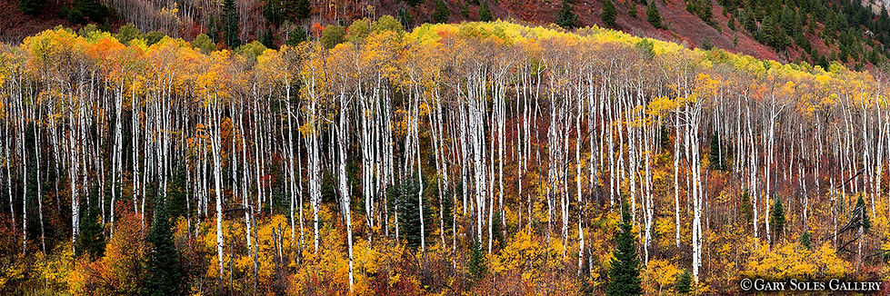 McClure Fall Aspens, McClure Pass, Colorado, Gary Soles Gallery, colorado fall, autumn colors, panoramic