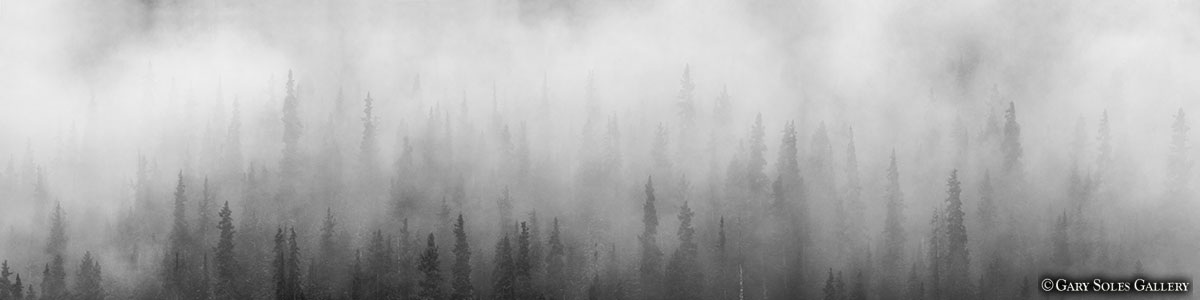 Misty Pines BW