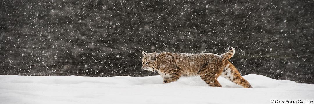 Snowbound Bobcat