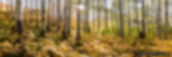 Aspen Fern Sunstar, aspen grove, fall aspen, fern, panoramic