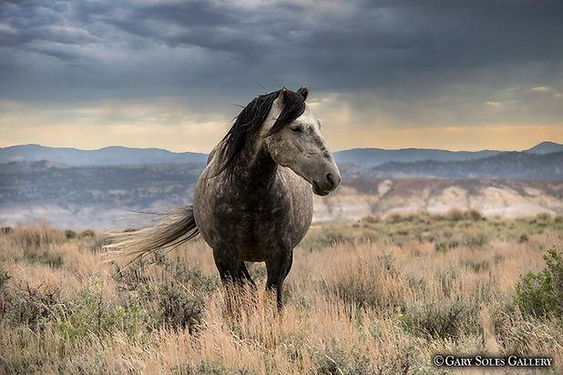 sandwash basin horses, horse, wild, wild horse, colorado wildlife, summer, storm, grasslands, gary soles gallery, breckenridge, gary soles