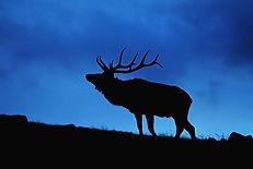 Lone Elk Silhoutte.jpg