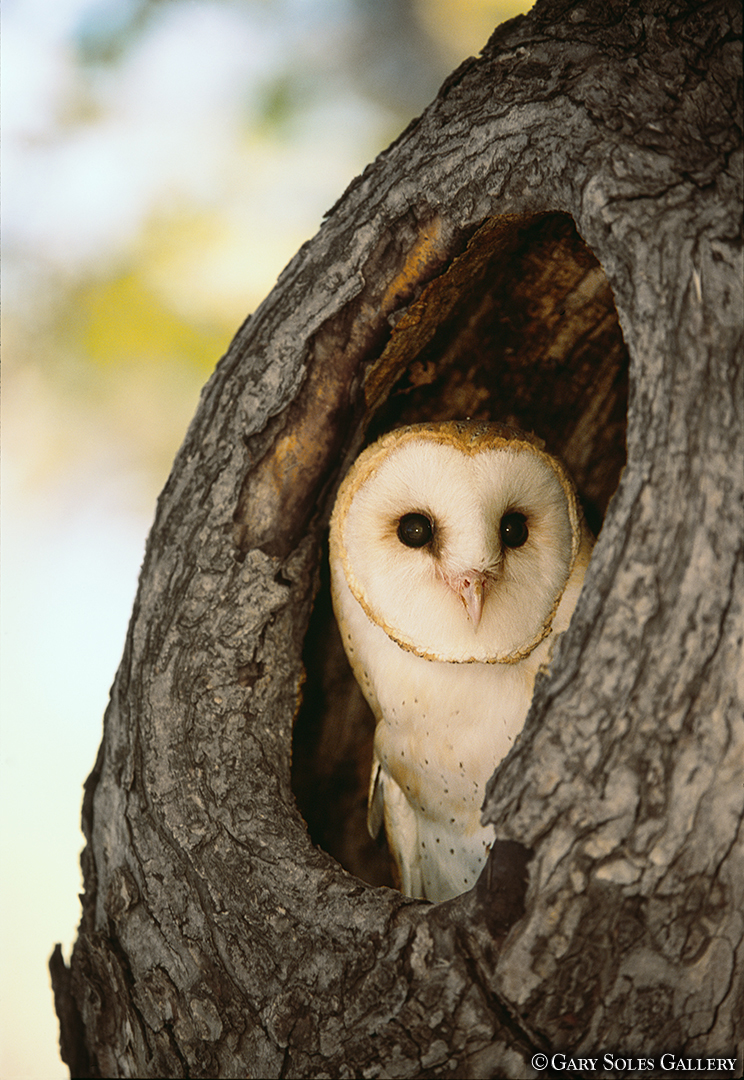 Barn Owl Tree
