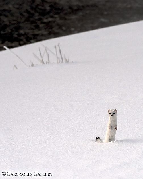 ermine, weasel, winter wildlife, wildlife, gary soles, gary soles gallery,