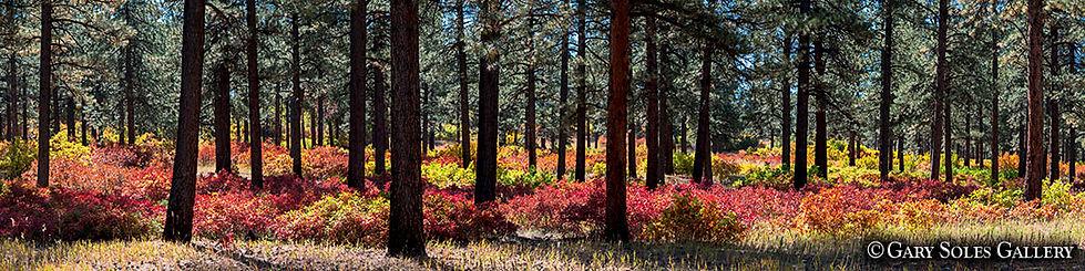 Ponderosa Pano, ponderosa pines, fall color, scrub oak, warm colors, red, orange, yellow