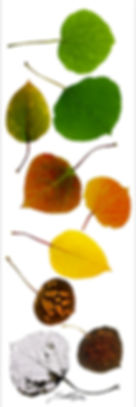 aspen leaves, aspen tree, aspen fall color, panoramic, seola, seola nicole edwards, breckenridge,colorado