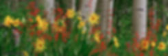 aspen wildflower, aspen, colorado wildflowers, gary soles, gary soles gallery, crested butte, colorado