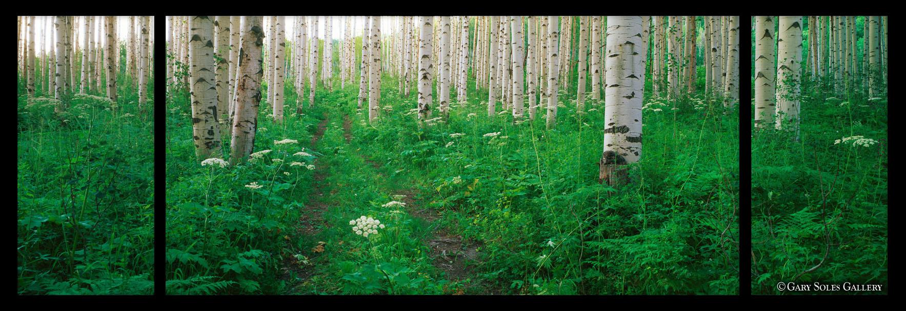 Summer Aspen Forest