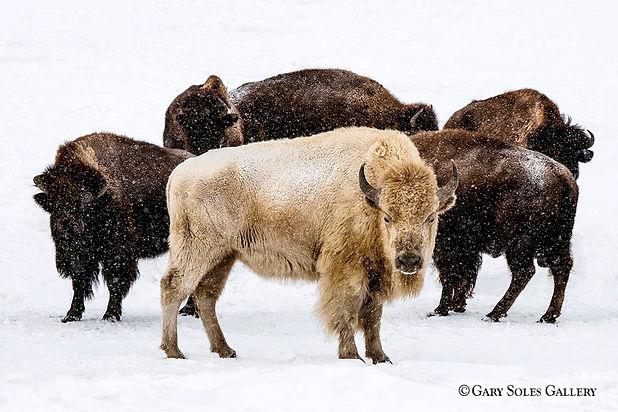 Winter White Bison Herd