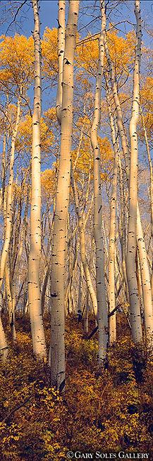 vertica aspen trees, fall color, aspen trees, aspen grove, gary soles, gary soles gallery, near aspen, colorado