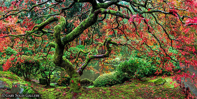 japanese maple tree, zen garden, portland oregon, botanical garden, gary soles, gary soles gallery