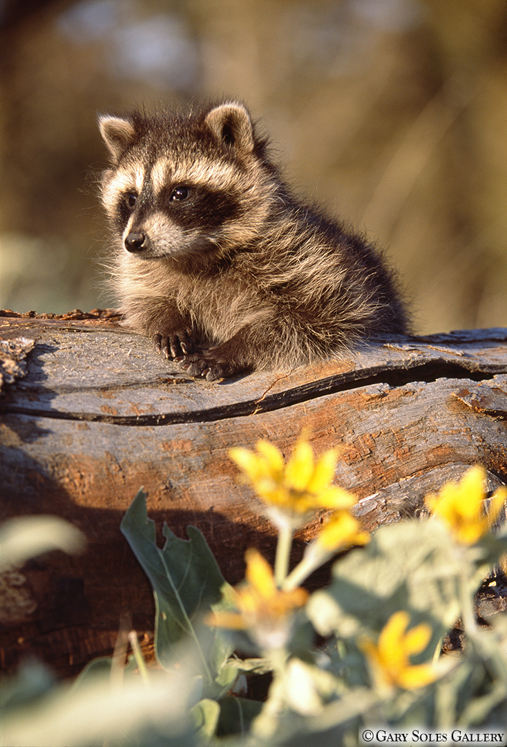 Raccoon and Wildflowers