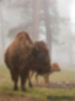 Bison Fog