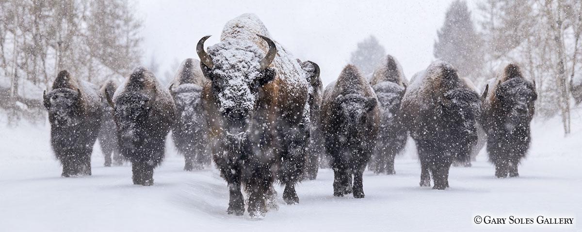 Blizzard of Bison