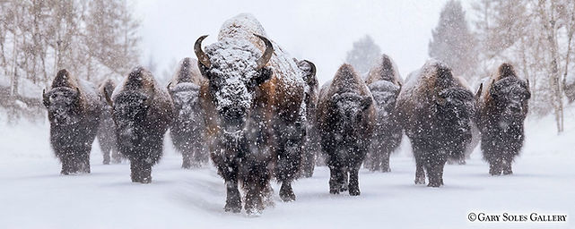 Blizzard of Bison, bison, snow, yellowstone national park, wyoming, winter wildlife, gary soles gallery