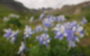 columbine, american basin, colorado, gary soles, breckenridge, wildflowers, colorado wildflower