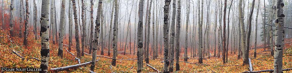 autumn fog, fall color, aspen grove, aspen trees, gary soles, gary soles gallery, colorado photograper