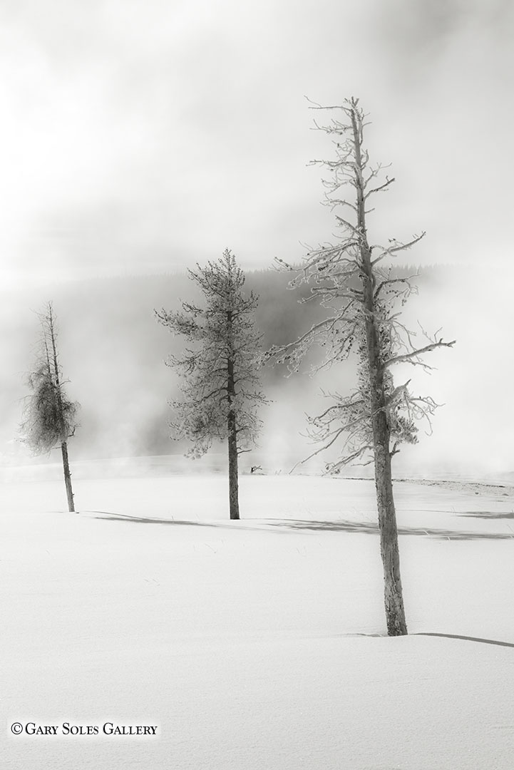 Misty Winter Pines