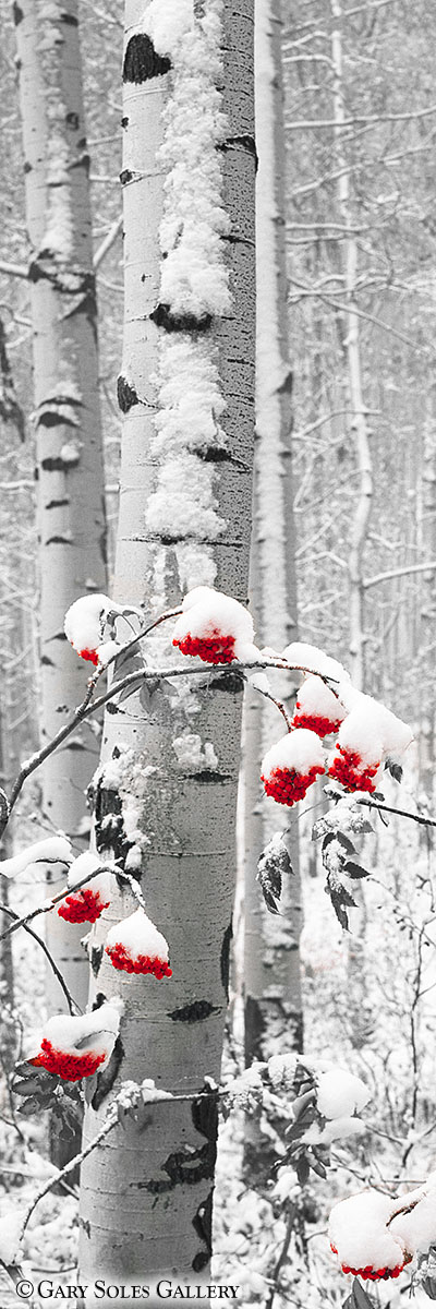 Snowberries BW Red Berries
